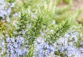 Rosemary In Flowers