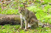 picture of bobcat  - Portrait of a bobcat on green grass - JPG