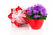 Blue Campanula Flowers With Red Gift Box, Polka Dots, On White Background