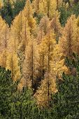 Yellow Trees In Autumn Forest