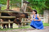 picture of lamas  - Young attractive woman feeding a group of lama on beautiful summer day - JPG