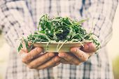 picture of rocket salad  - Organic vegetables. Healthy food. Rocket salad in farmers hands