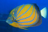 image of angelfish  - Angelfish - JPG