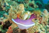 foto of slug  - Nudibranch Sea Slug  - JPG