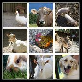 Animals Farm Collage