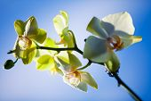 orchid isolated on a background sky