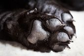 stock photo of fluffy puppy  - Dog labrador paw with pads on a light carpet - JPG