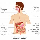 picture of rectum  - vector illustration of diagram of digestive system - JPG