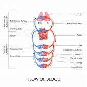 picture of carbon-dioxide  - vector illustration of flow of blood in circulatory system - JPG