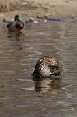 pic of swim meet  - duck girl preens before a meeting with partner - JPG