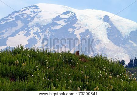 Marmot Looking With Mt Rainier In The Background