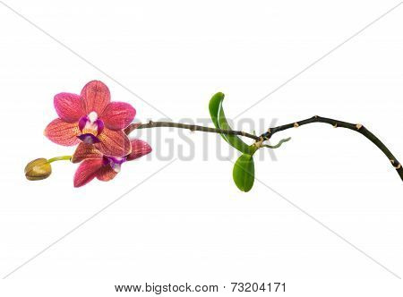 Blooming Child Red Orchid Flower, Phalaenopsis With Roots And Leaves Is Isolated On White Background