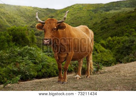 Red Cow With Crooked Horns On Pasture