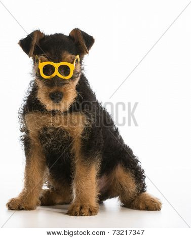 cute airedale terrier puppy wearing glasses sitting on white background
