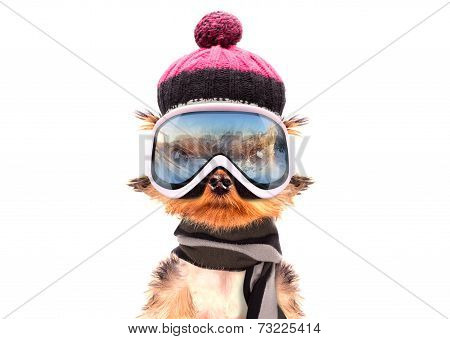 dog  dressed as skier