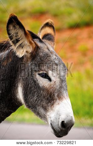 Closeup Of A Gray Burro