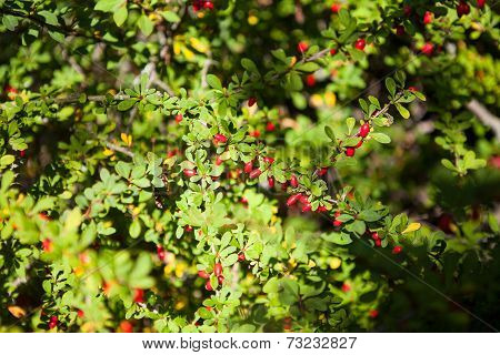 Twig Of Red Barberry Bush