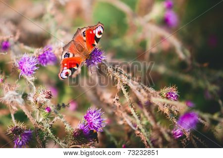Peacock butterfly on violet flowers