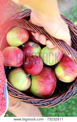 Woman's Hand Carrying Basket Of Freshly Harvested Apples