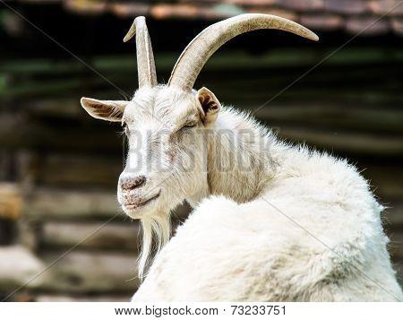 Portrait Of Farm Goat