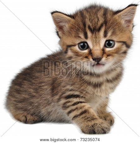 Small Kitten Looking At Camera