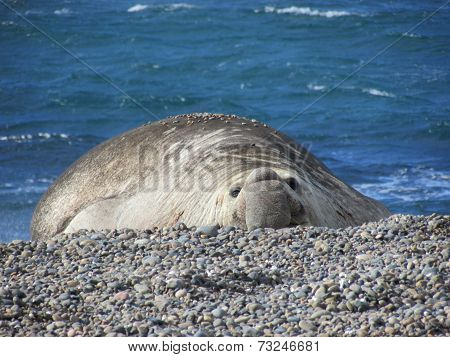 Elephant seal at sea