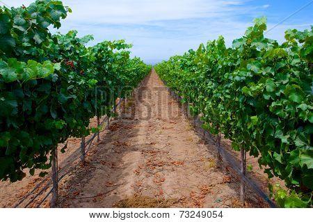 Row Of Grapes In Vineyard