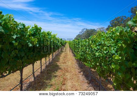 Row Of Green Grapes Vineyard