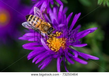Honeybee drinking
