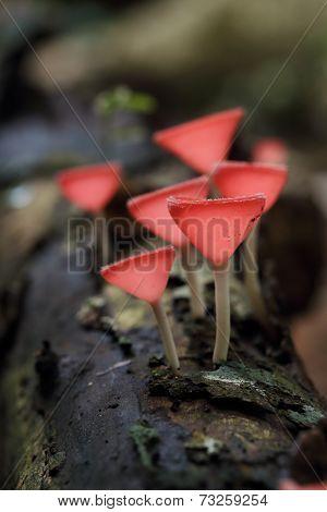 Champagne Mushroom In Rain Forest