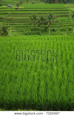 Rice fields and palm trees in Bali island