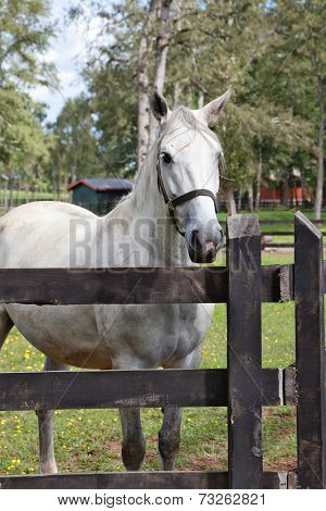 Thoroughbred white horse. A charming country estate, with a special fence walk their beautiful horses
