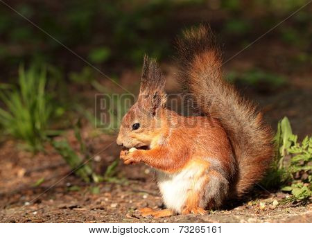 A Squirrel Eating The Nut