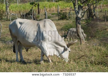 White Bull In A Farm