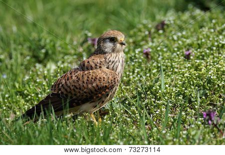 front view of Common Kestrel on sunny day