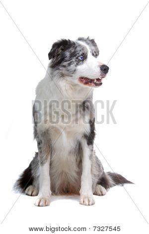 cão border collie