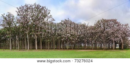 Paulownia Trees In Flower During Spring