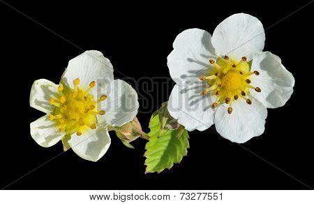 Flowers Of Strawberry