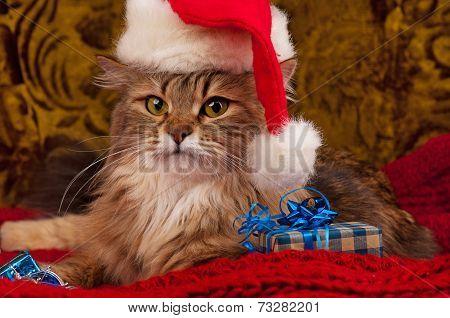 Siberian Holiday Cat