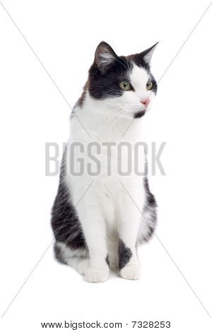 Black and white European short-haired cat