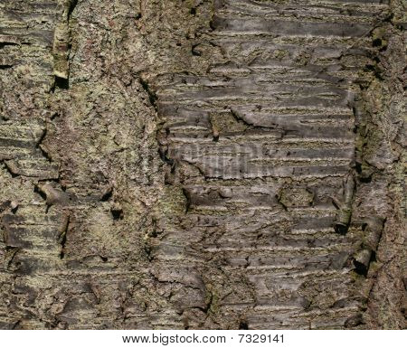 cherry tree bark. cherry tree bark stock photo.