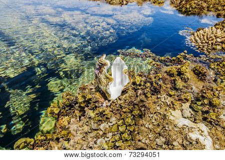 Seashell At The Coral Reef In The National Park Of Ras Mohammed In  Egypt
