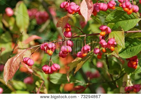 European Spindle Tree with Seed Vessels