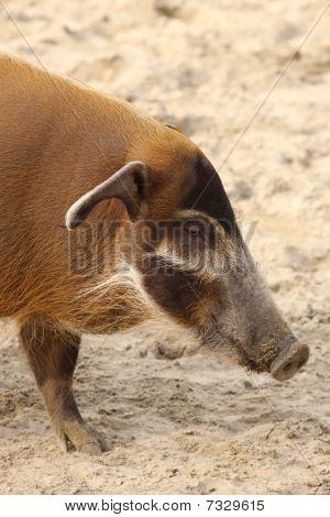 Red river hog pig