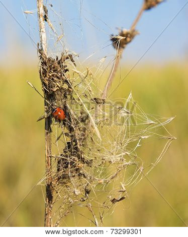 Ladybug On A Beam Of Dry Grass