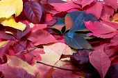 pic of creeper  - Background of multicolor autumn leaves  - JPG