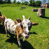 pic of goat horns  - Close up of horned farm goat summer day  - JPG