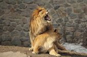 picture of animals sex reproduction  - Lion growling standin over lioness and she looks aside - JPG
