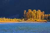 pic of tree snake  - Cottonwood trees by snake river near Palisades reservoir - JPG