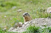 picture of marmot  - Wild marmot stands guard in the mountains
